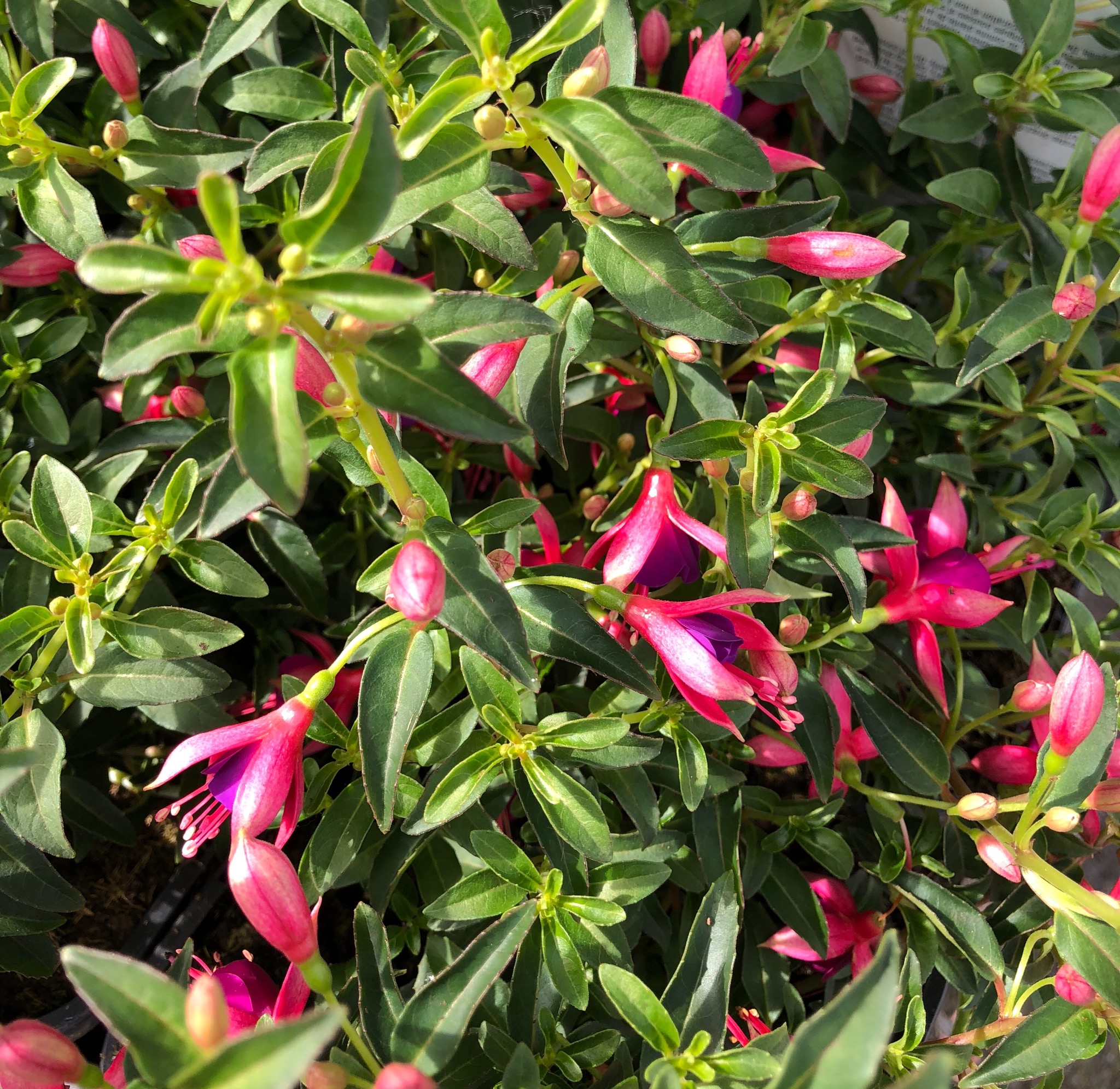 Picture of Fuchsia 'Electric Lights'
