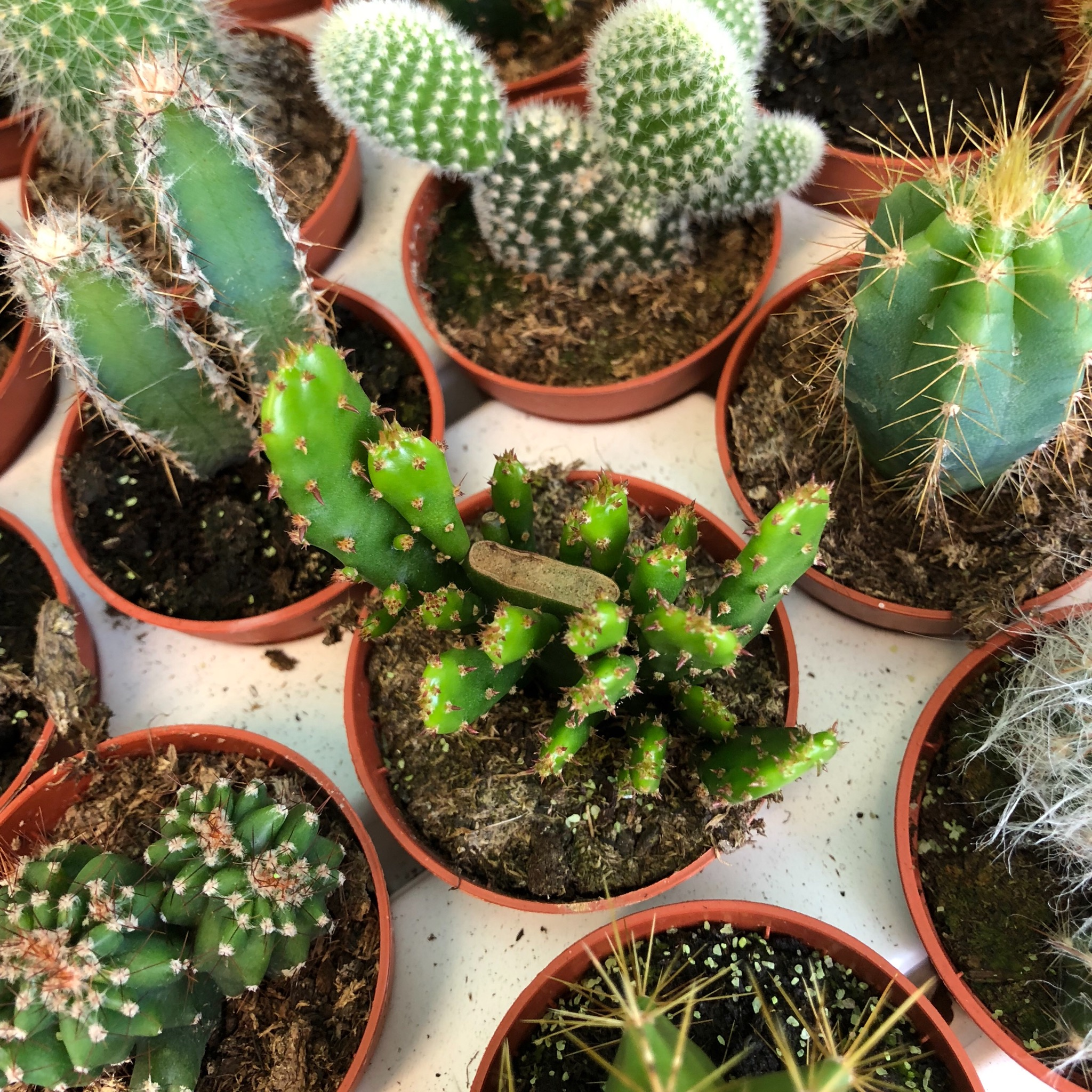 Picture of Mini Cactus - variety