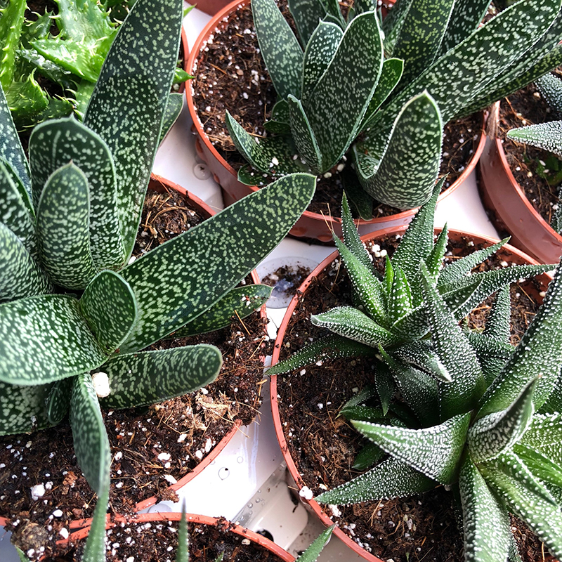 Picture of Aloe Haworthia