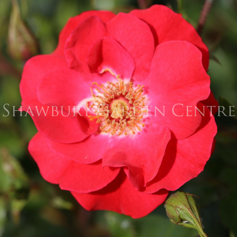 Picture of Rosa 'Olympic Flame' Climbing Rose