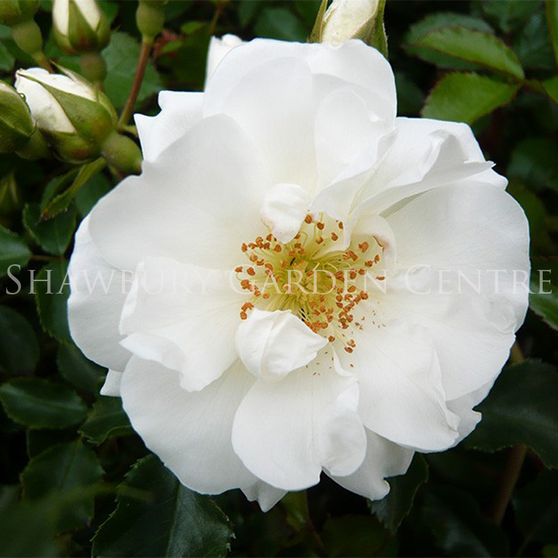Picture of Rosa Flower Carpet 'White'
