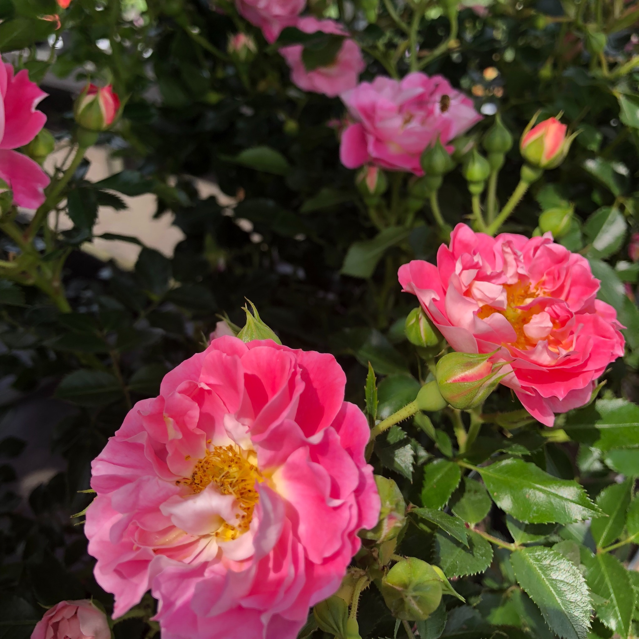 Picture of Rosa 'Charmant' Patio Rose