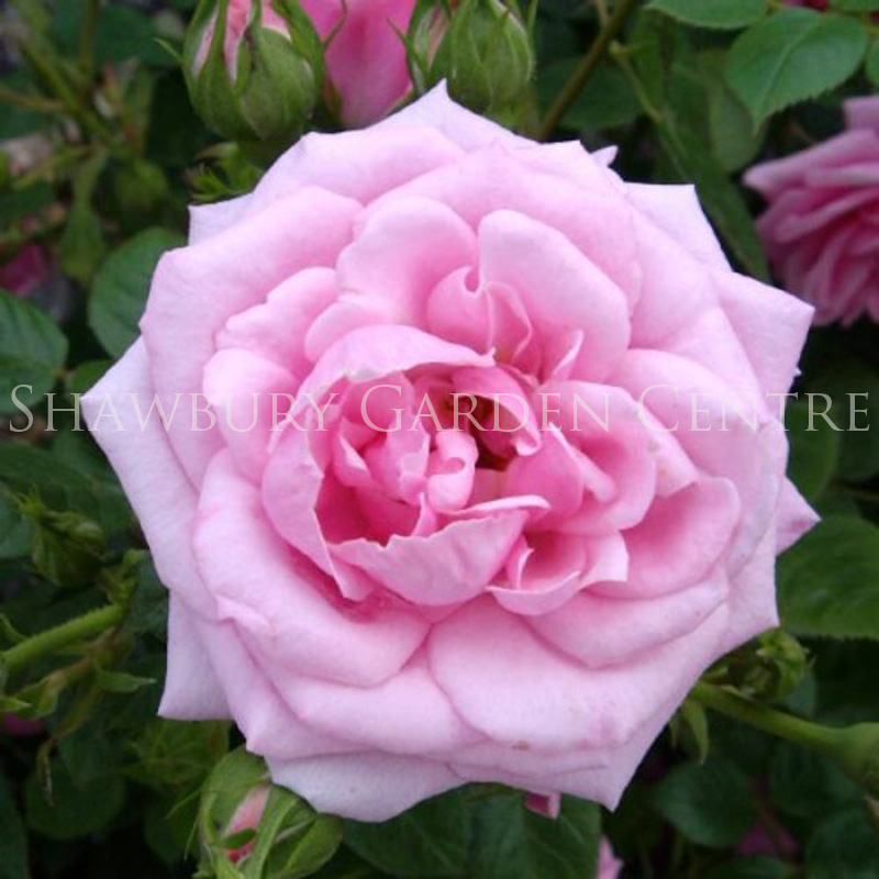 Picture of Rosa 'Diamond Wishes' Patio Rose