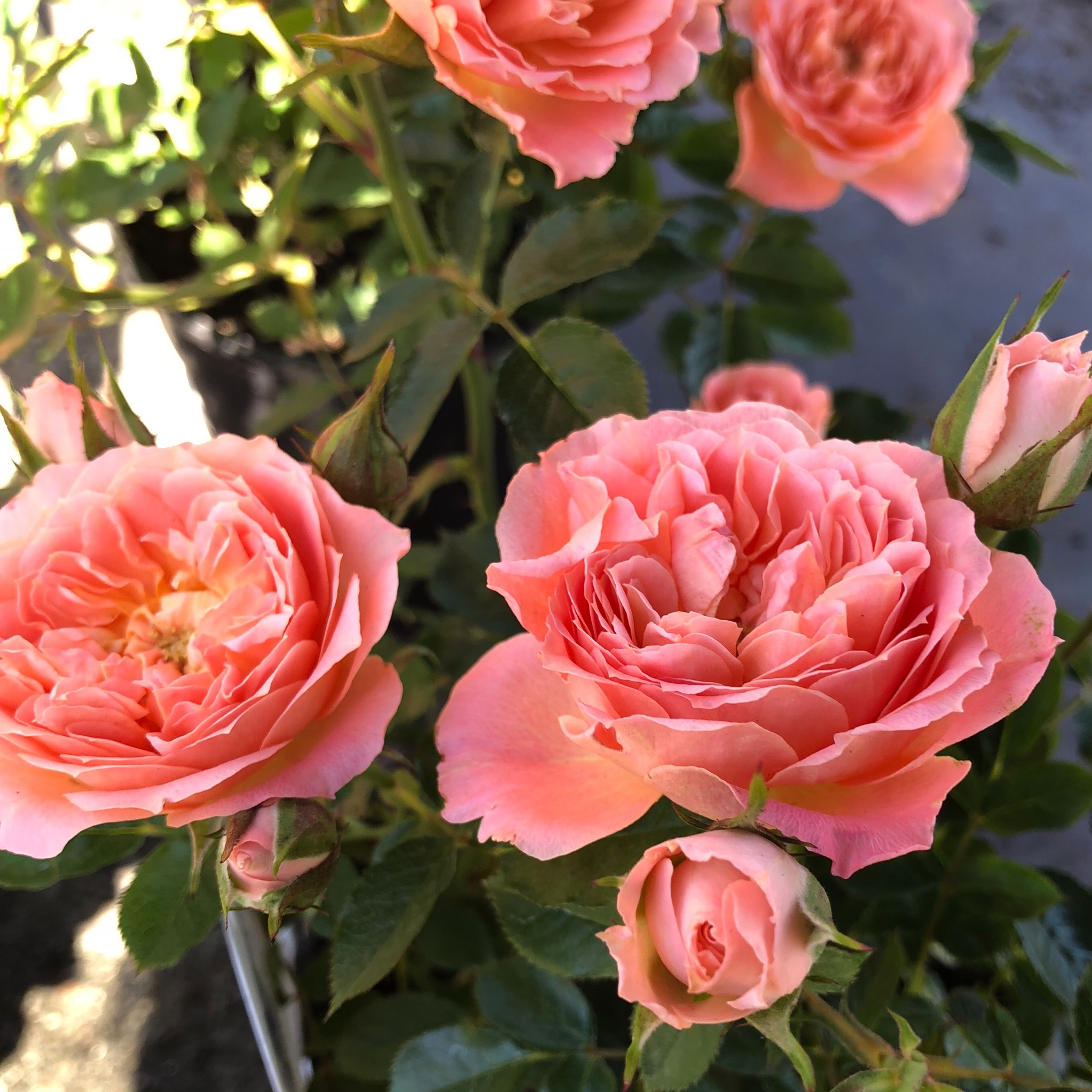 Picture of Rosa 'Sweet Wonder' Patio Rose