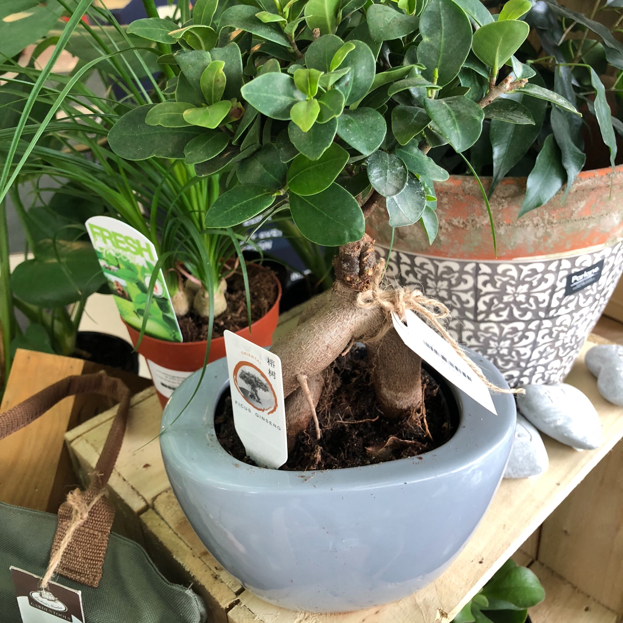 Picture of Ficus ginseng in Ceramic Pot