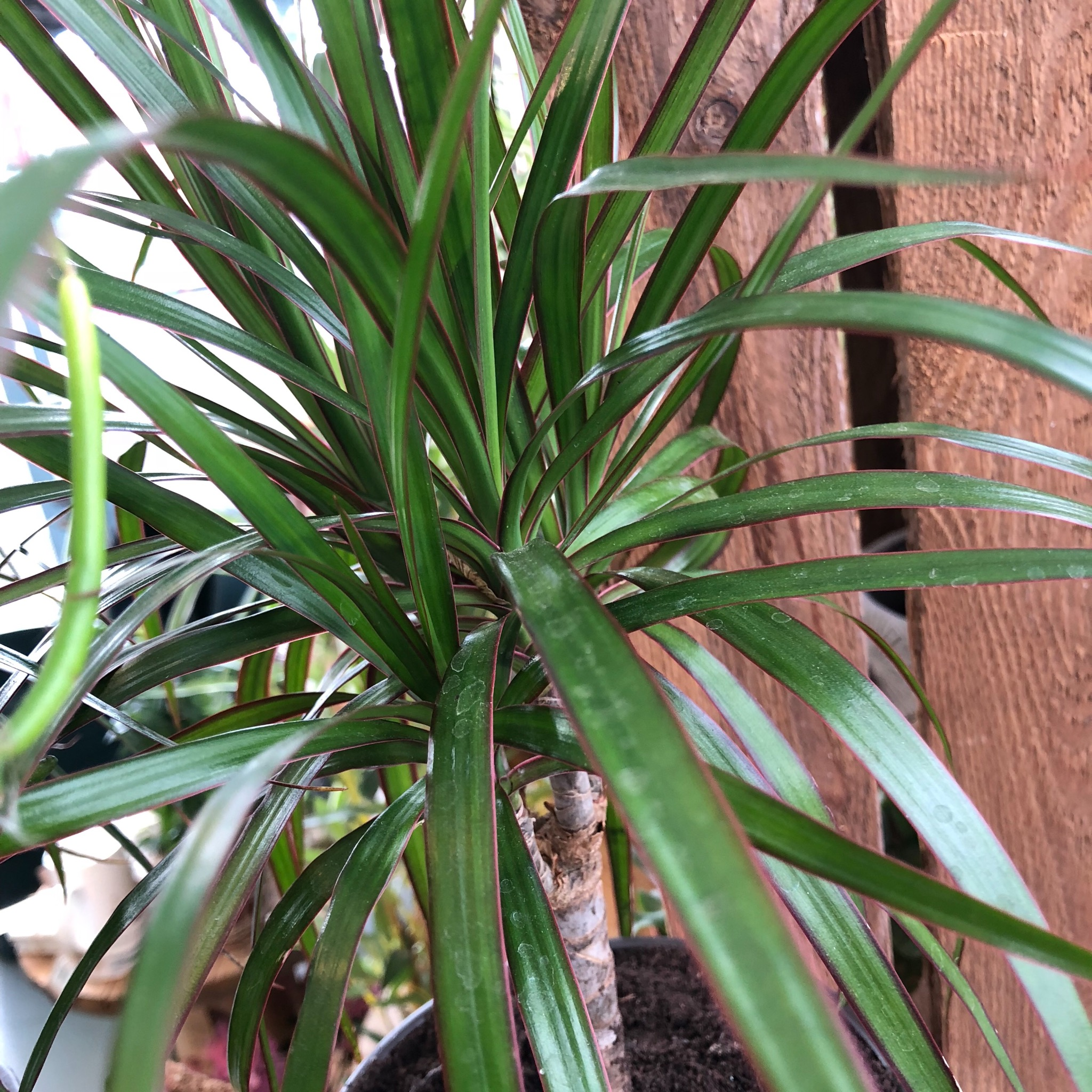Picture of Dracaena marginata 'Dragon Tree'