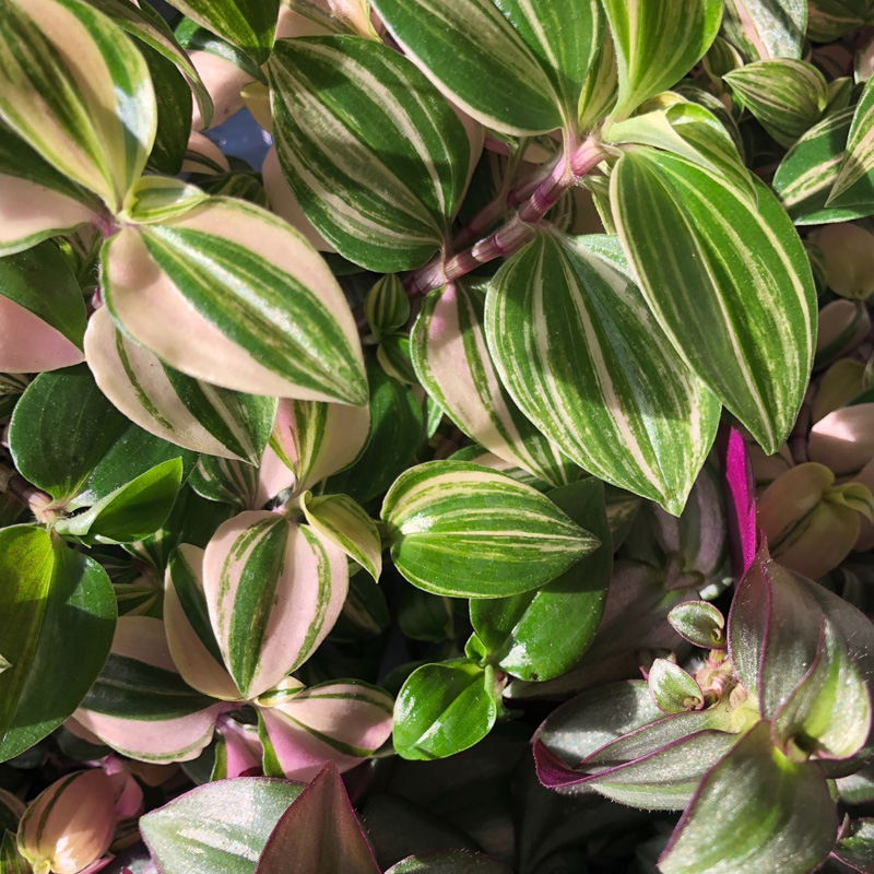 Picture of Tradescantia Variety