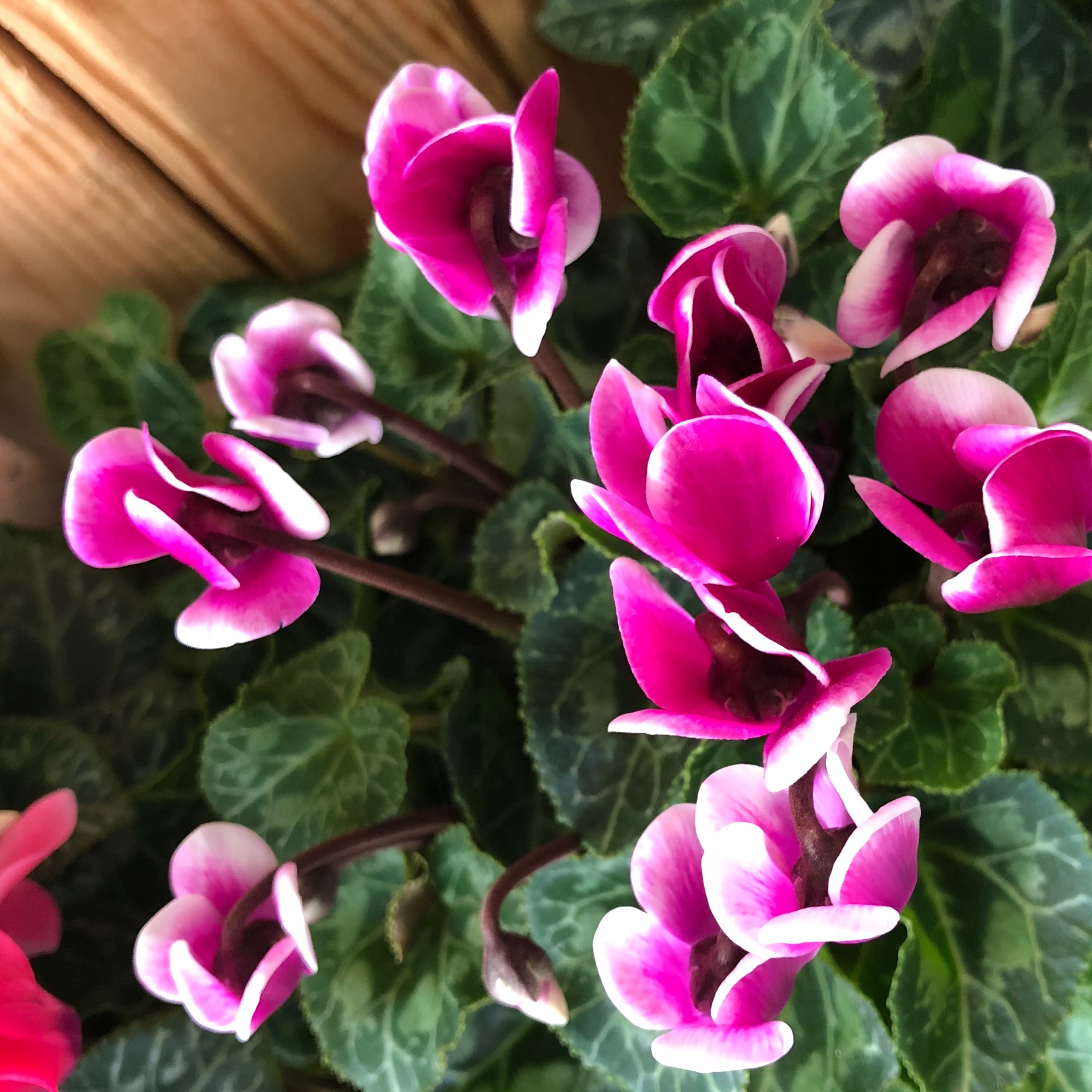 Picture of Patio Cyclamen