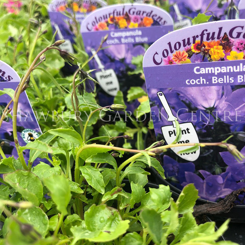 Picture of Campanula coch. Bells Blue