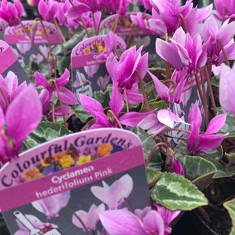 Picture of Cyclamen hederifolium PINK
