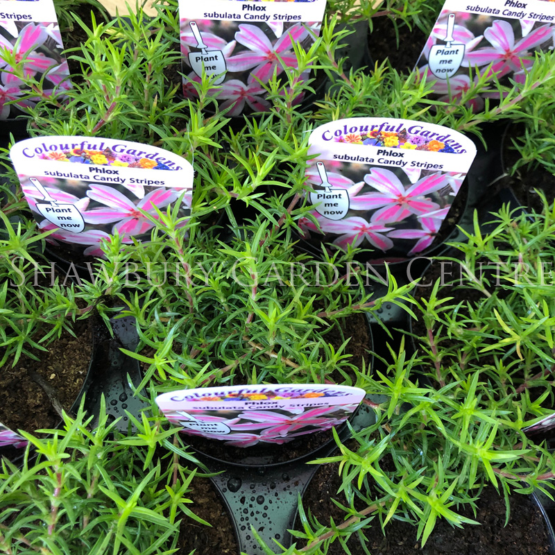 Picture of Phlox sub 'Candy Stripes'