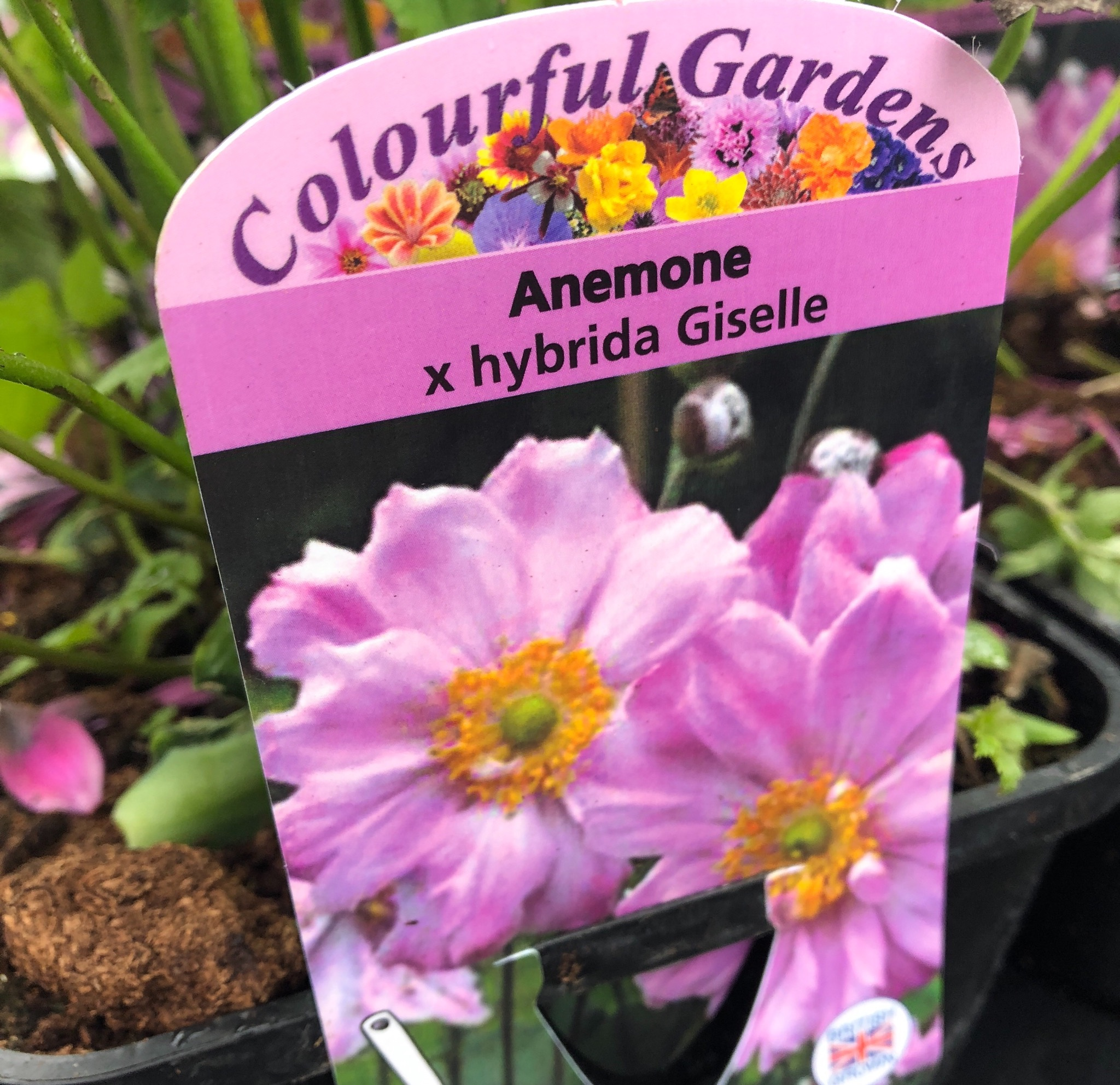 Picture of Anemone x hybrida 'Giselle'