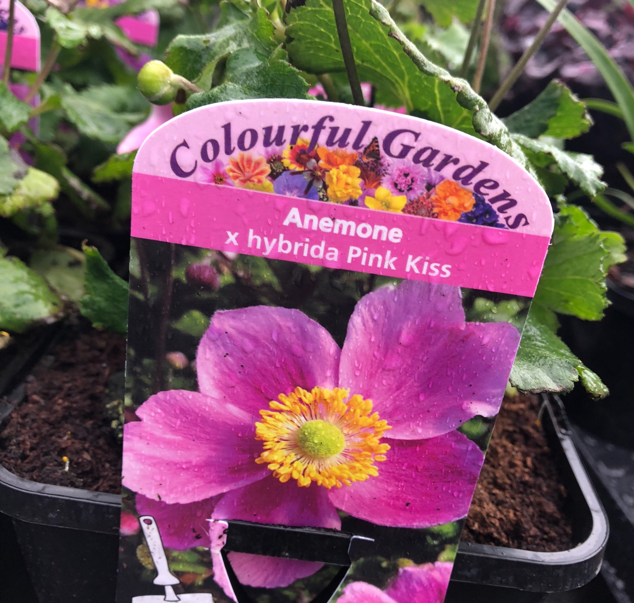 Picture of Anemone x hybrida 'Pink Kiss'