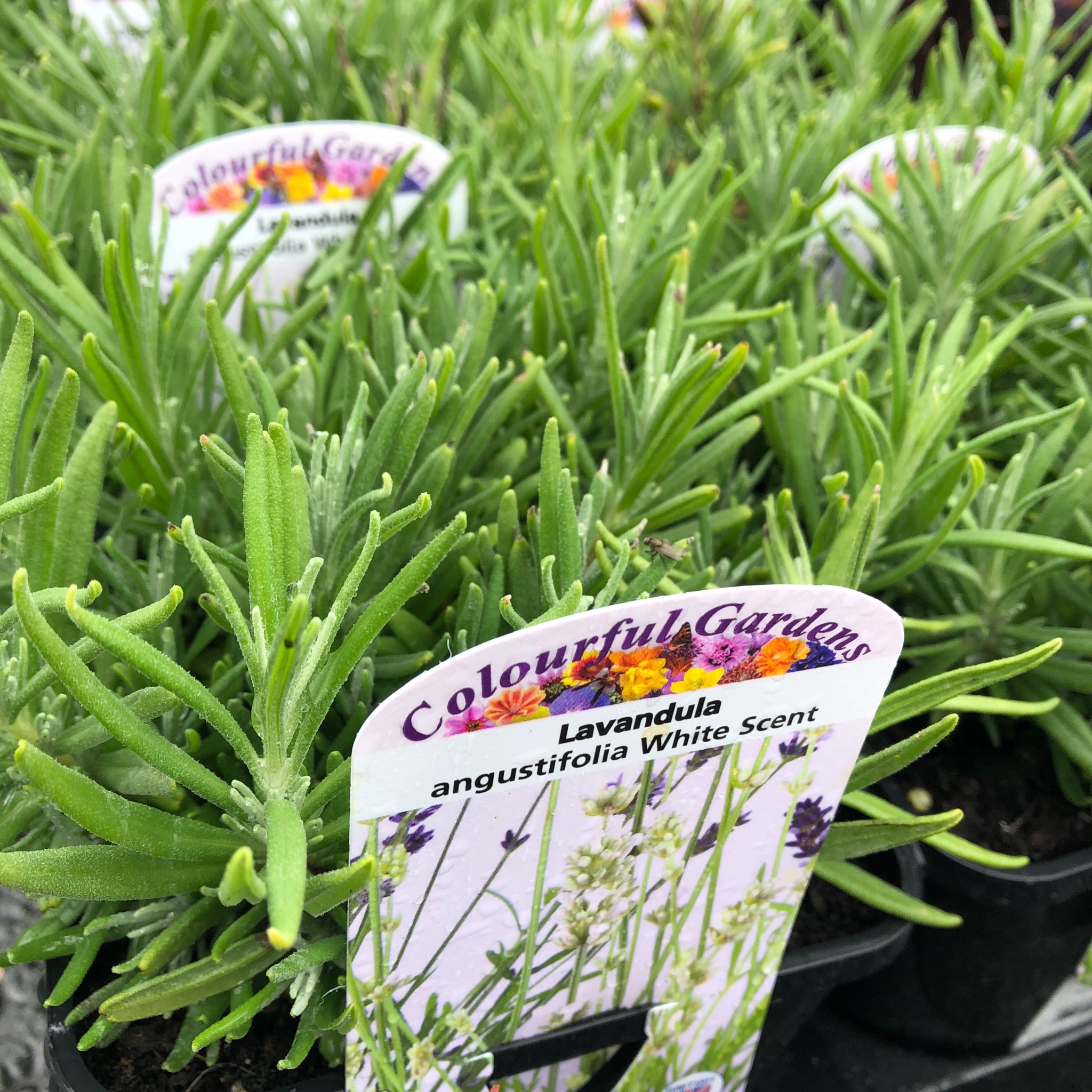 Picture of Lavandula angus 'White Scent'