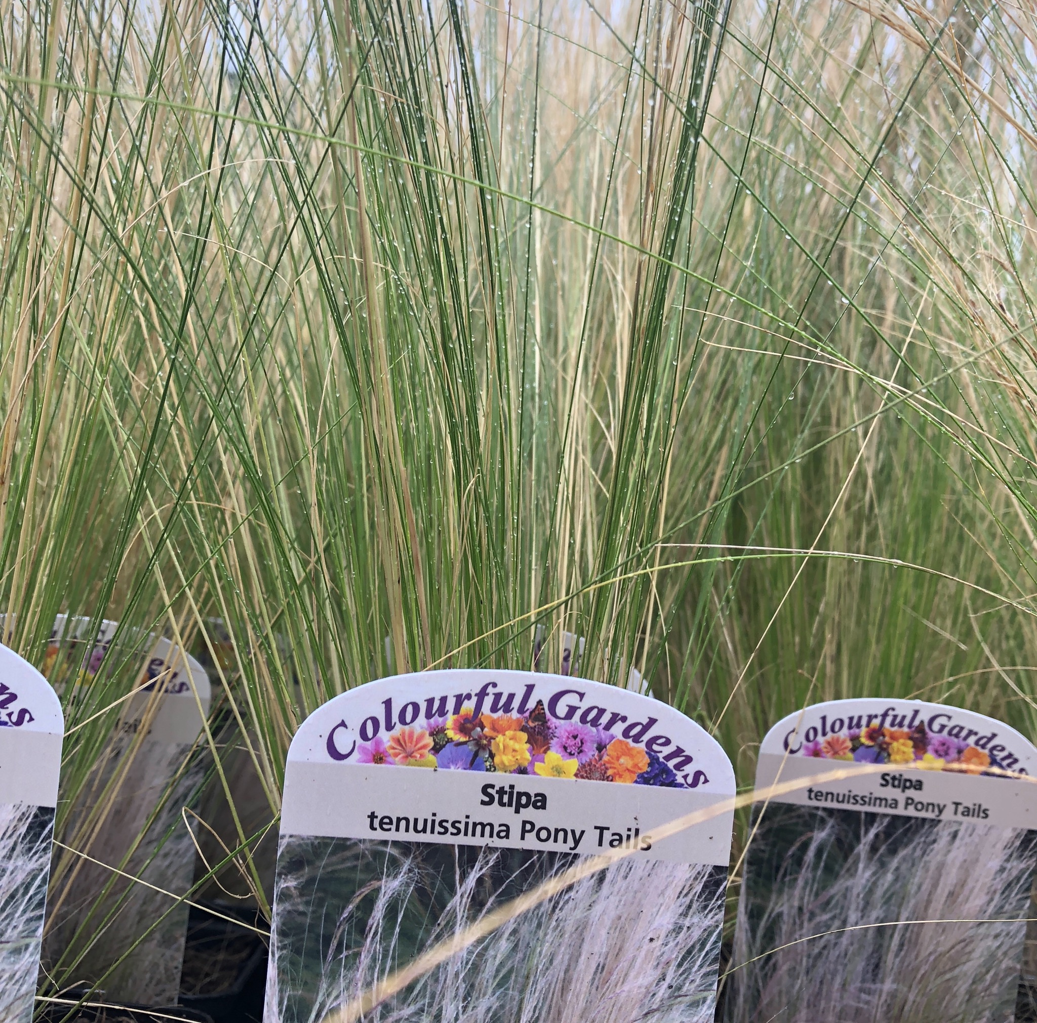 Picture of Stipa tenuissima 'Pony Tails'