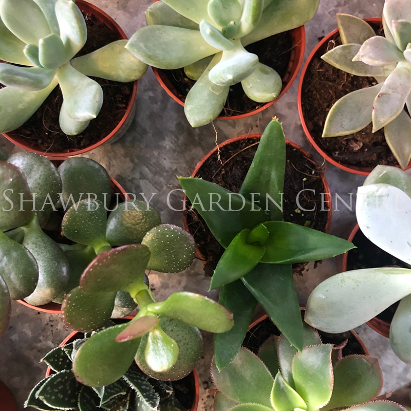 Picture of Mini Succulent - variety