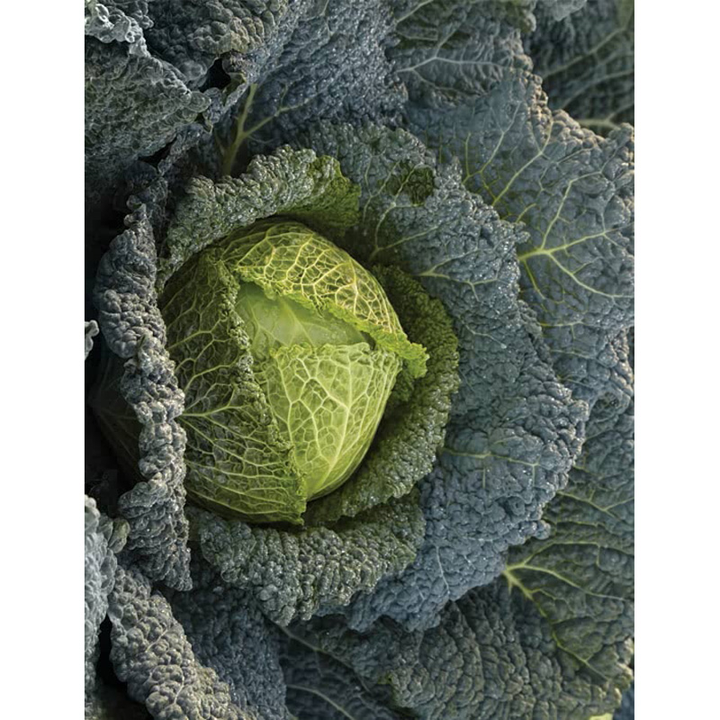 Picture of Unwins 'Savoy Cordesa F1' cabbage seeds