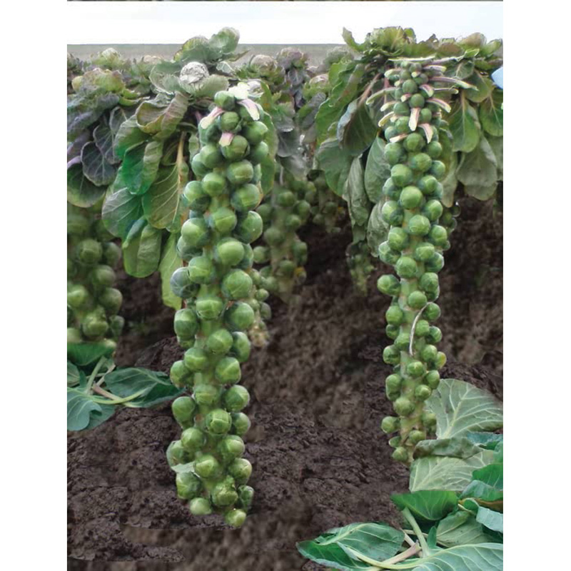 Picture of Unwins BRUSSELS SPROUT Brenden Seeds