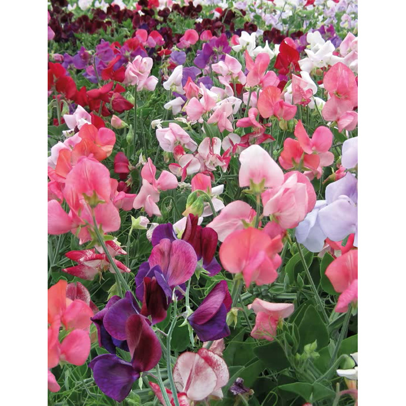 Picture of Unwins SWEET PEA 'Cherub Mix' Seeds