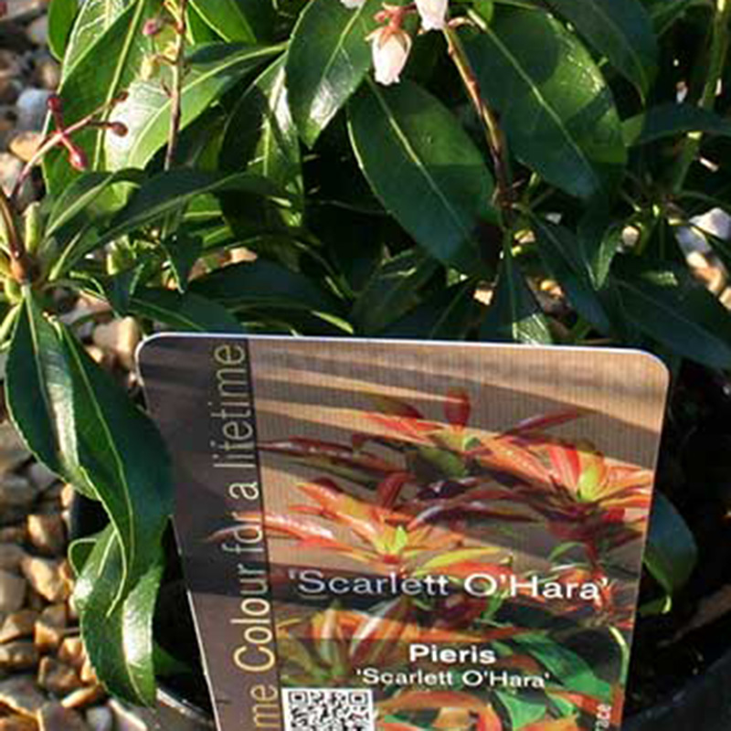 Picture of Pieris japonica 'Scarlett O'Hara'