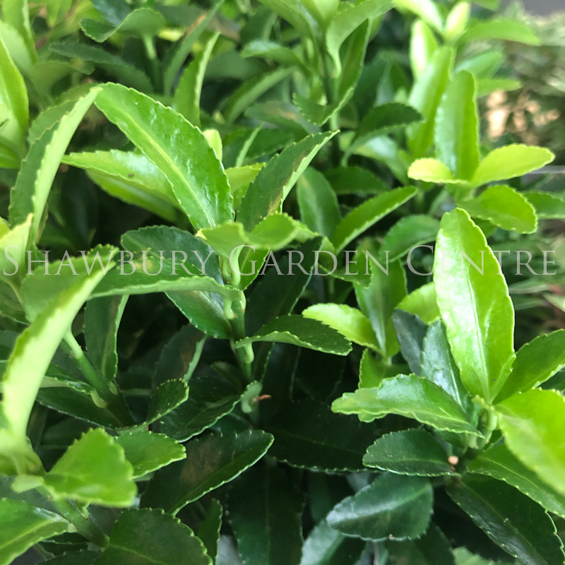 Picture of Euonymus japonicus 'Gold Queen