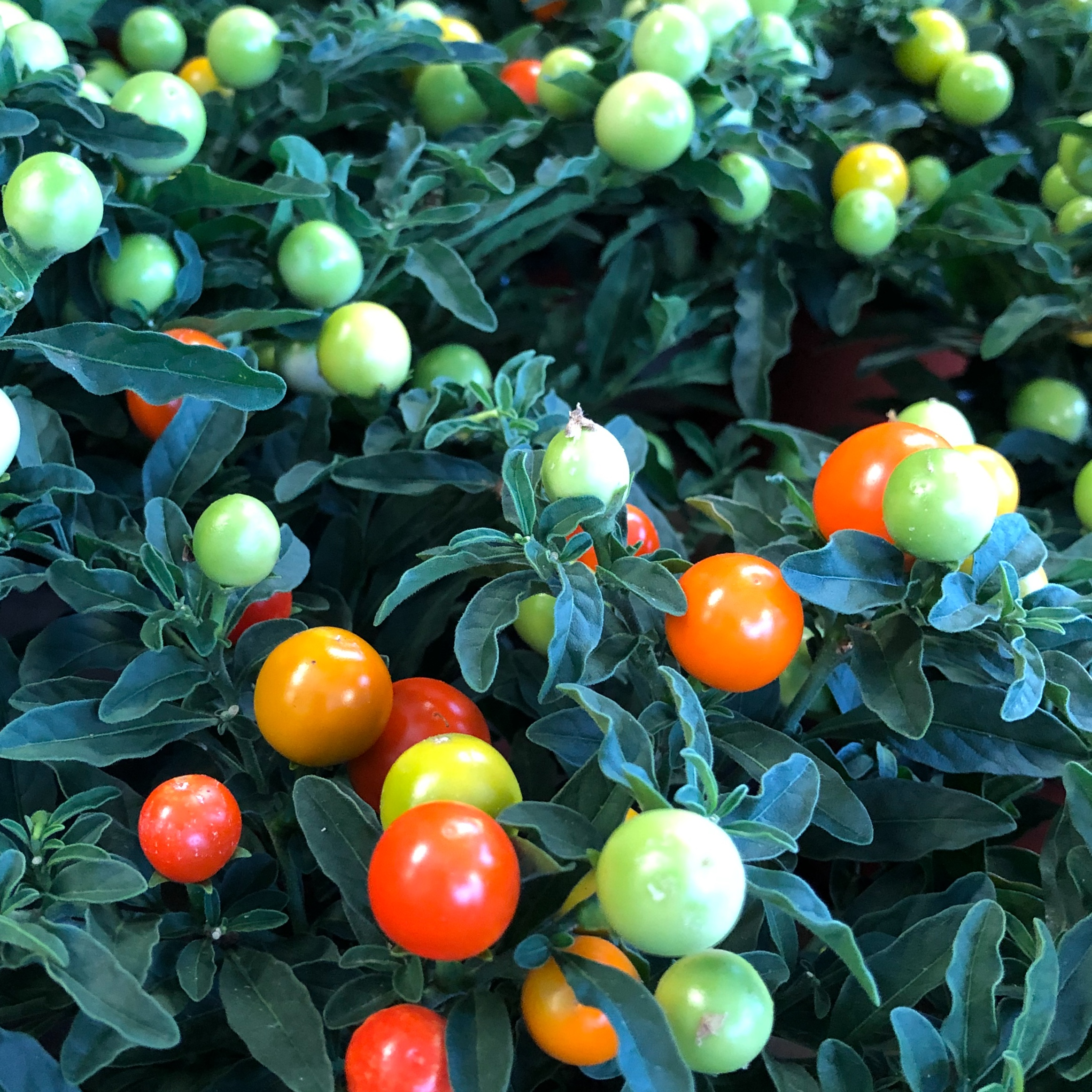 Picture of Solanum pseudocapsicum 'Jerusalem Cherry'