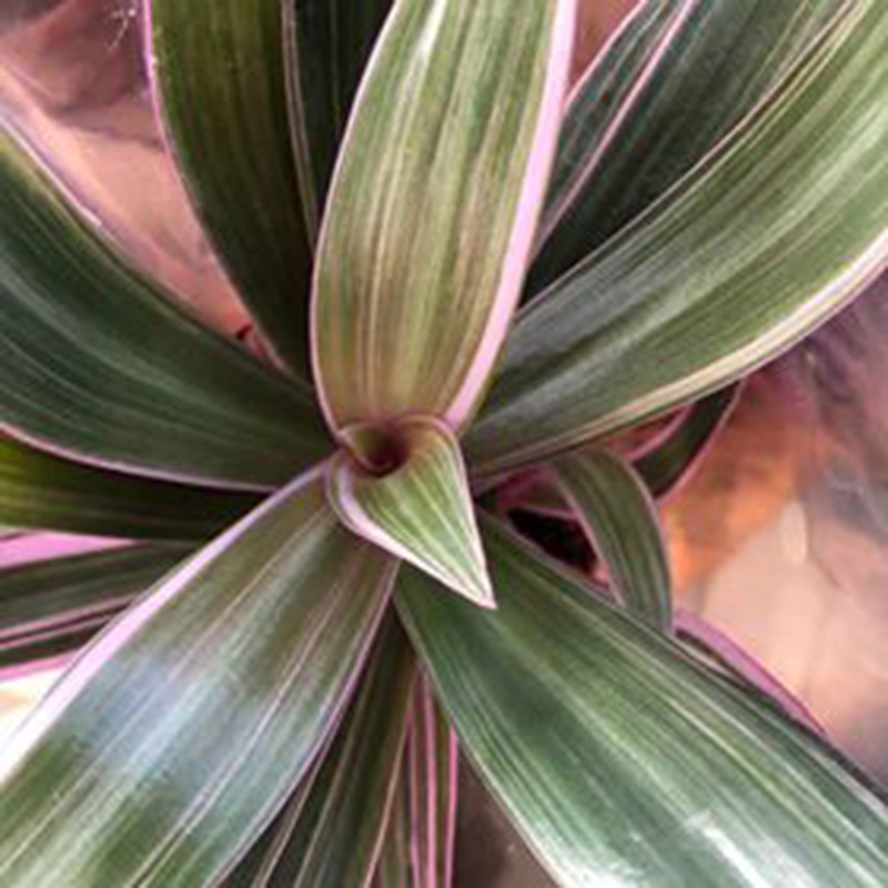 Picture of Tradescantia spathacea Rhoeo