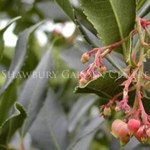 Picture of Arbutus unedo 'Strawberry Tree'