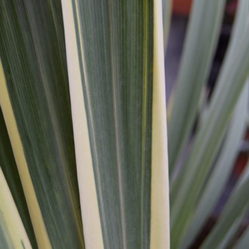 Picture of Cordyline australis 'Torbay Dazzler'