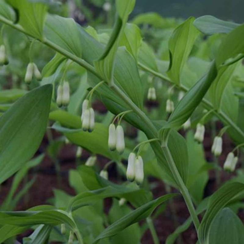 Picture of Polygonatum x hybridum