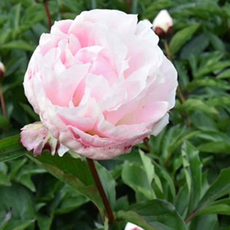 Picture of Paeonia lactiflora 'Shirley Temple'