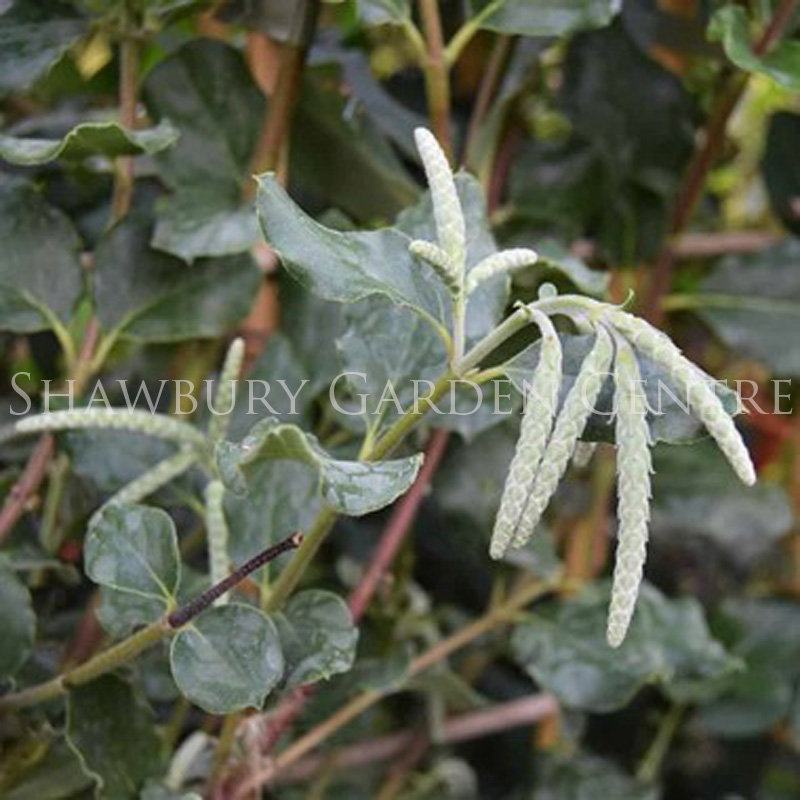 Picture of Garrya elliptica