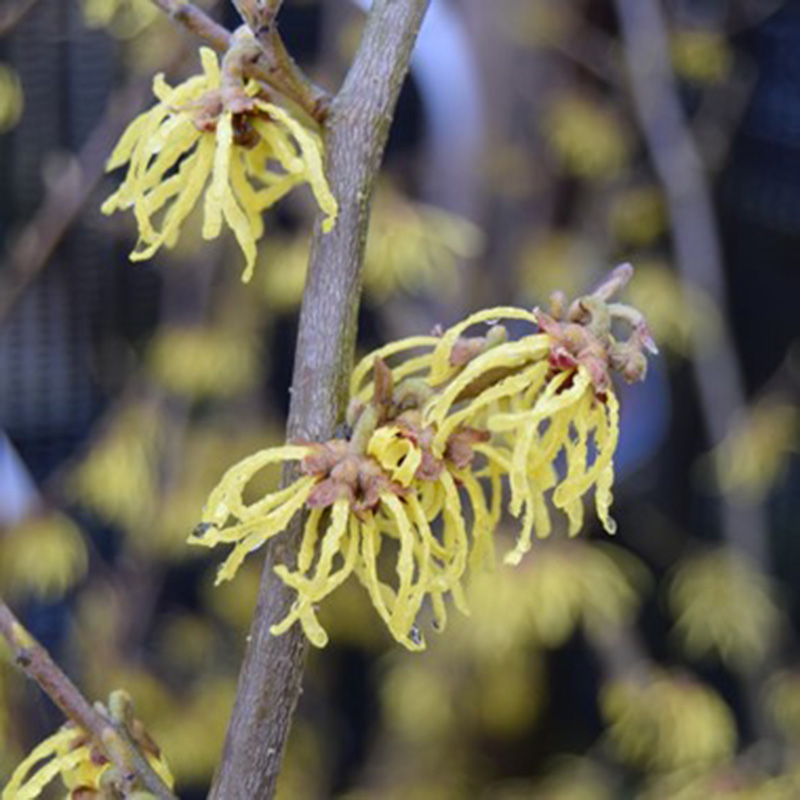 Picture of Hamamelis x intermedia 'Arnold Promise'