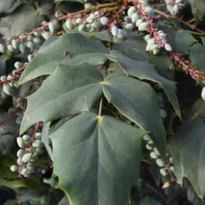 Picture of Mahonia japonica