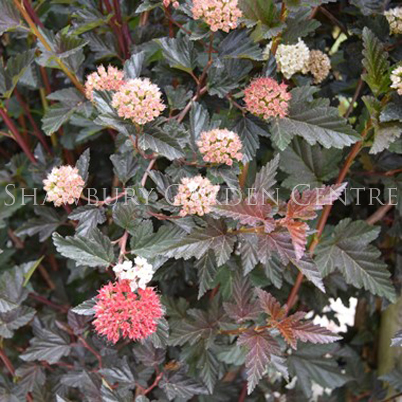 Picture of Physocarpus capitatus 'Red Baron'