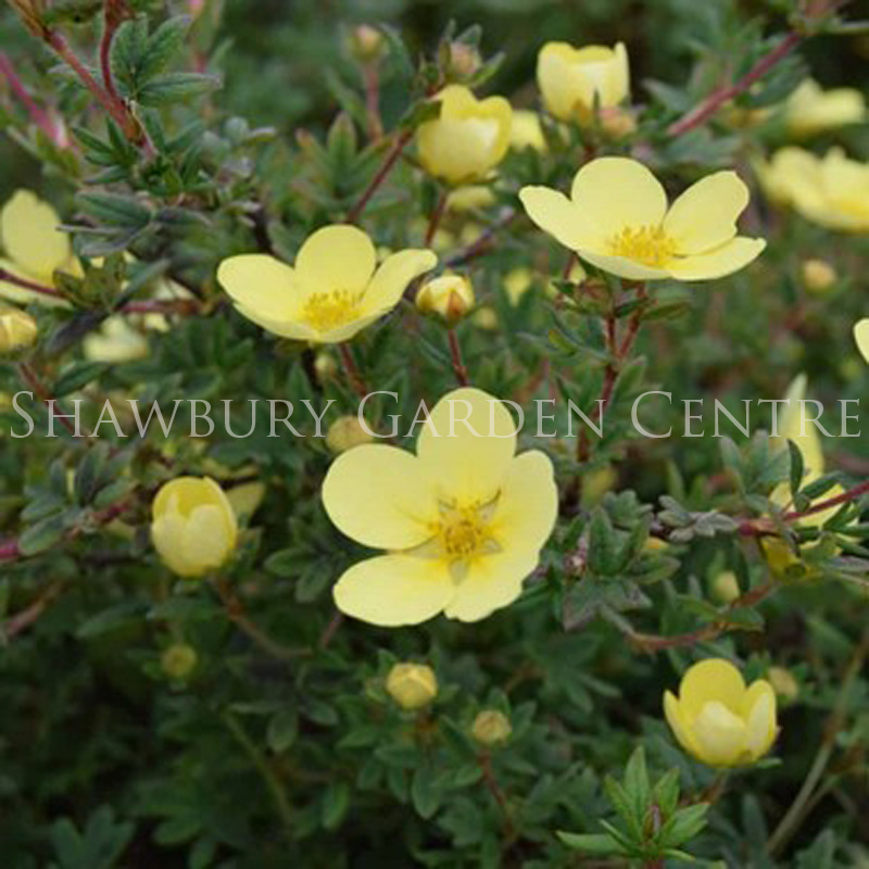 Picture of Potentilla fruticosa 'Goldfinger'
