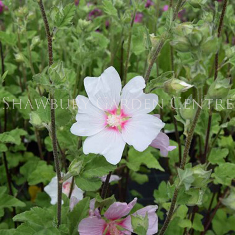 Picture of Lavatera x clementii 'Barnsley'
