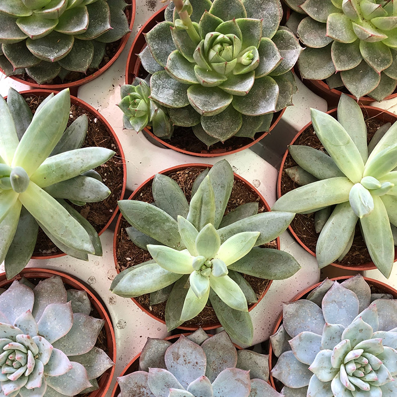 Picture of Echeveria - variety
