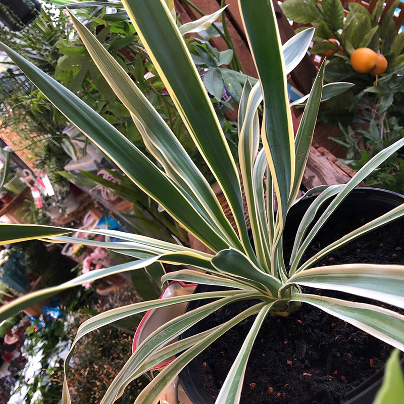 Picture of Variegated Yucca gloriosa