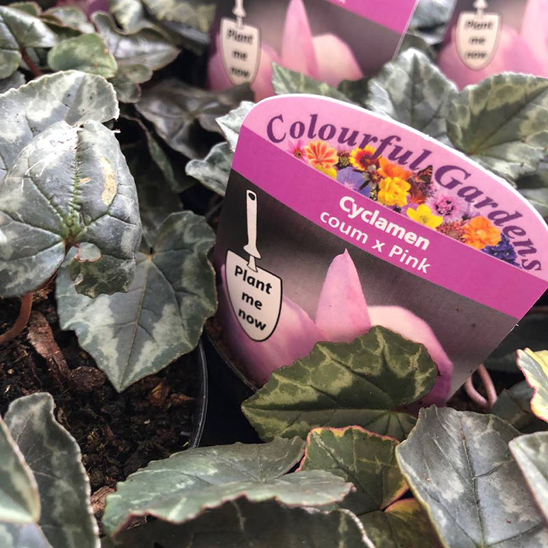 Picture of Cyclamen coum x PINK