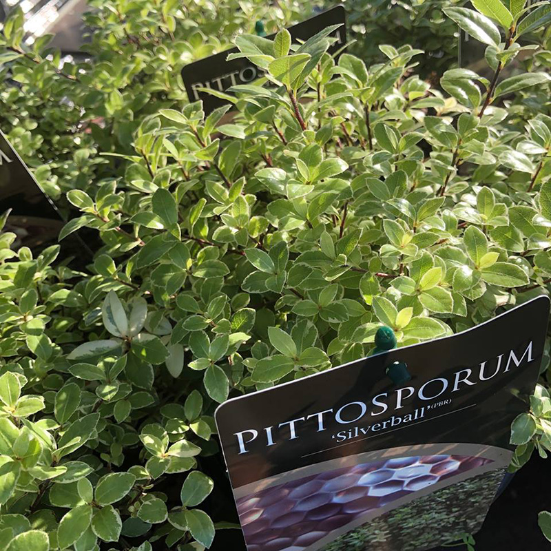 Picture of Pittosporum tenuifolium 'Silver Ball'