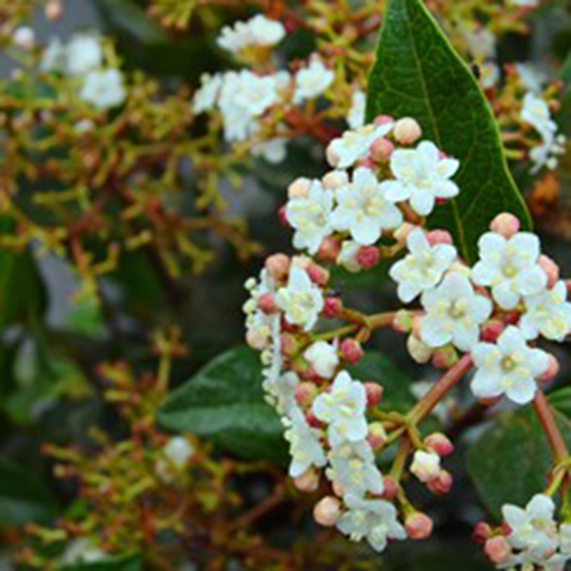 Picture of Viburnum tinus 'Eve Price'