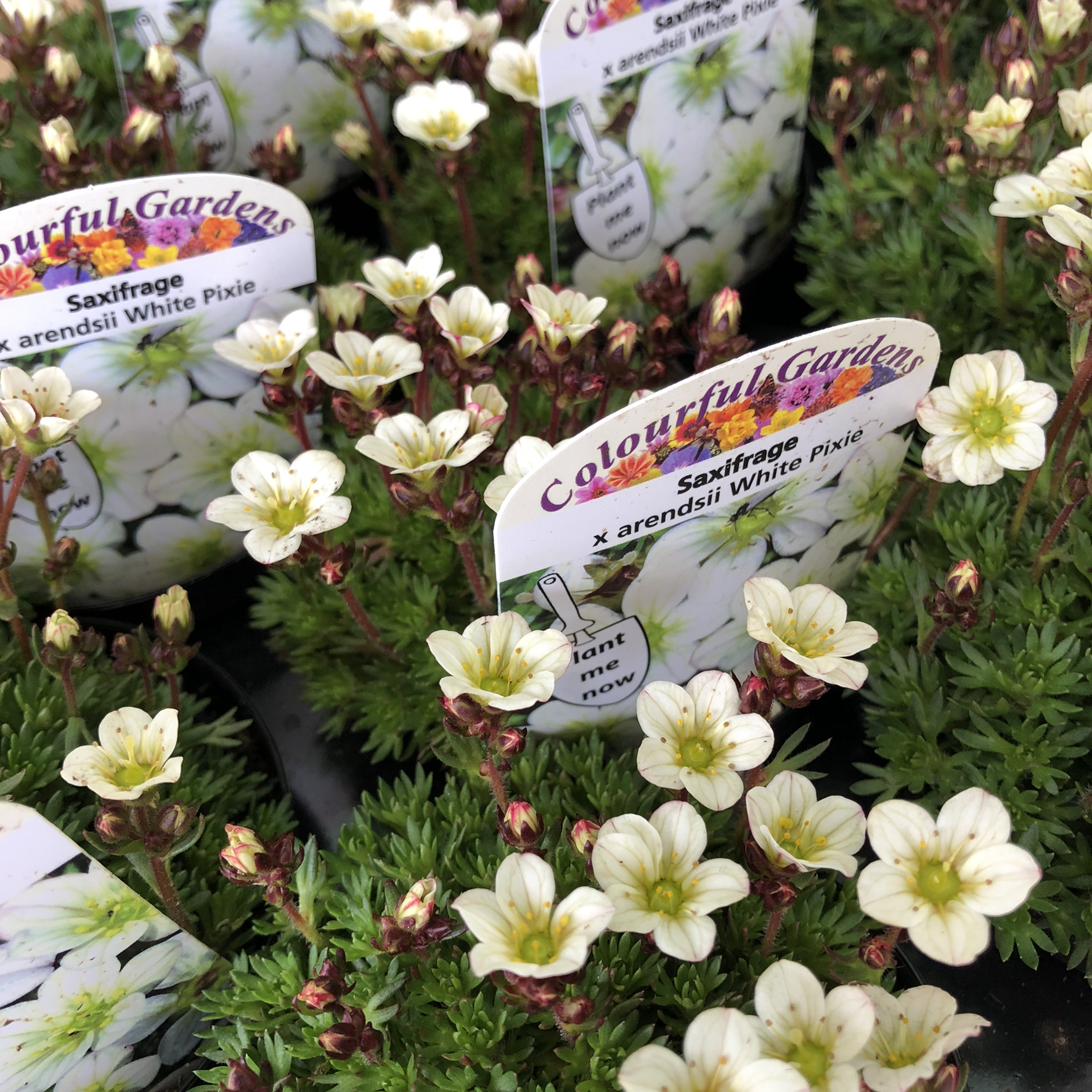 Picture of Saxifrage arendsii 'White Pixie'