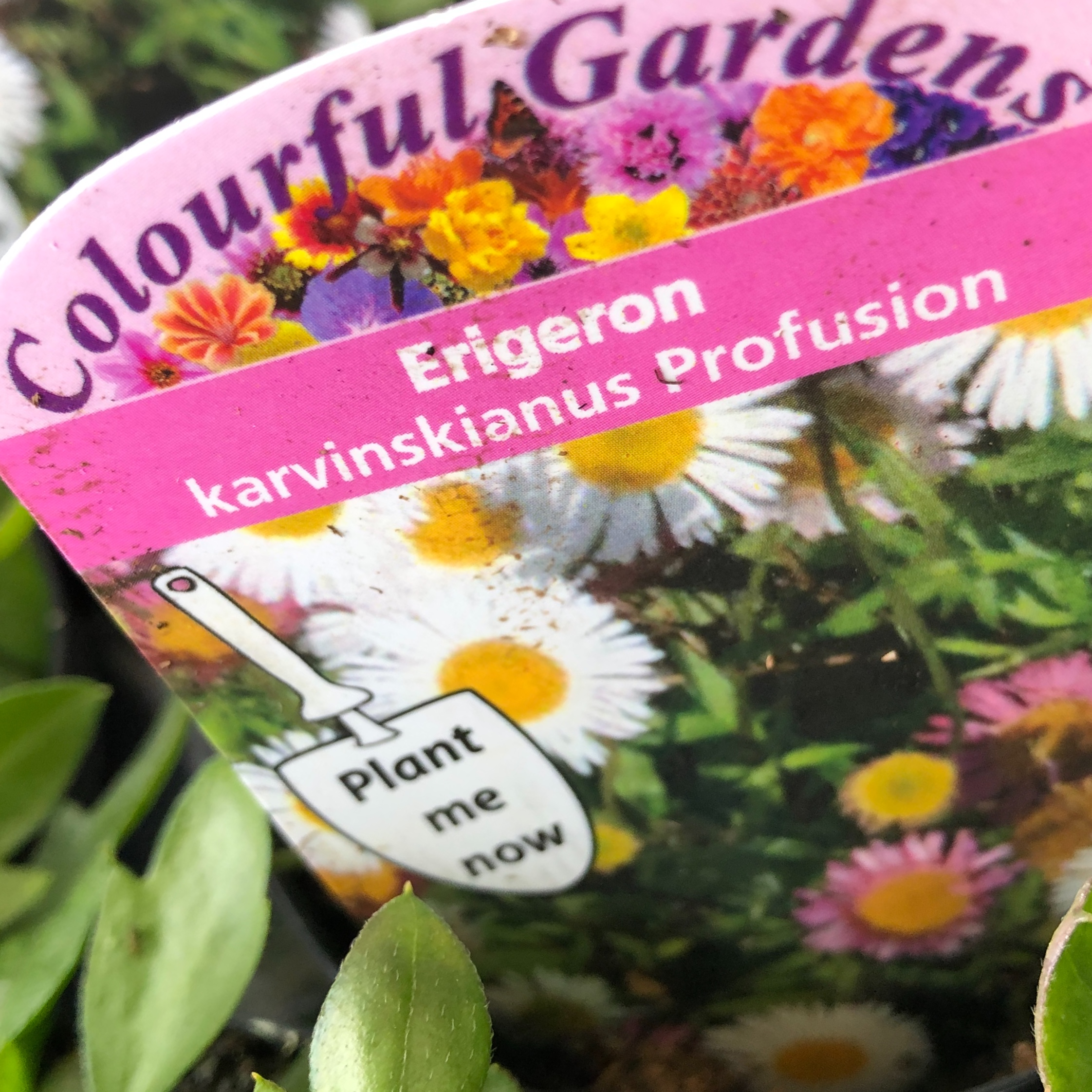 Picture of Erigeron karvinskianus 'Profusion'