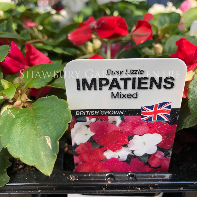 Picture of Impatiens 'Busy Lizzy' Bedding