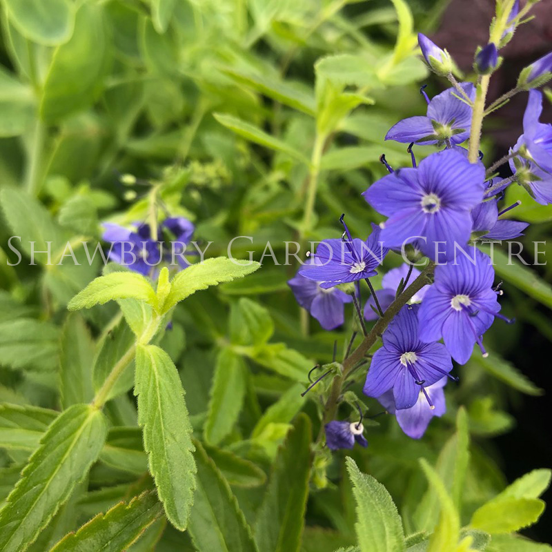 Picture of Veronica austriaca 'Royal Blue'