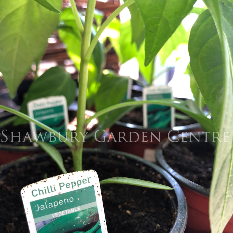 Picture of Jalapeno Chilli Pepper Plant