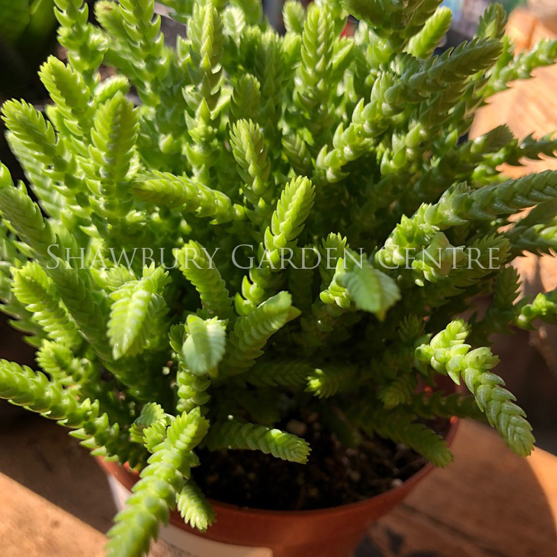 Picture of Succulent Plant