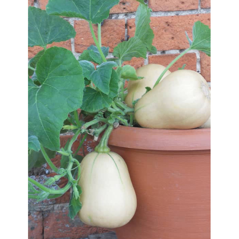 Picture of Unwins SQUASH Butternut Butterbush Seeds