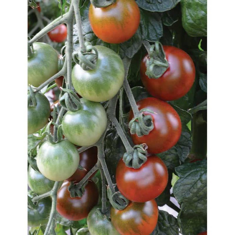 Picture of Unwins 'Ruby Falls' Cherry Tomato Seeds
